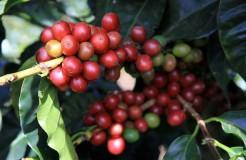 咖啡品種 之 卡圖拉(Caturra Varietal)