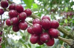 咖啡品種 之 波旁種 (Bourbon)