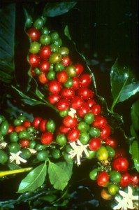 coffee-cherries